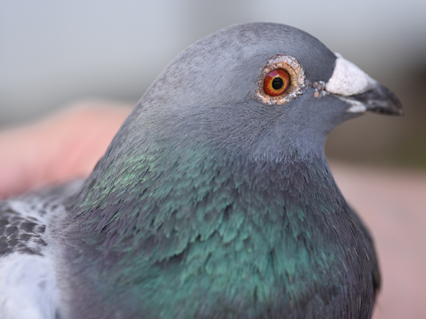 This pigeon raised by Bunn is from the Sion breed.