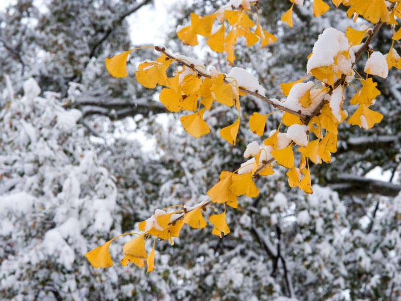 The golden yellow of gingko contrasts the stark winter landscape.