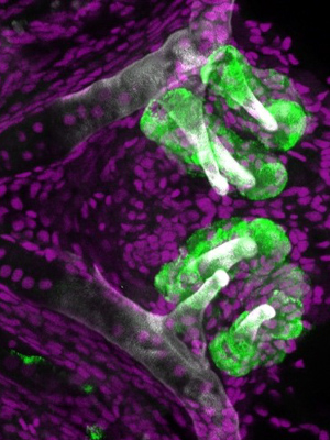 Zebrafish teeth (labeled with a green fluorescent protein) along the pharyngeal jaw about five days post-fertilization.