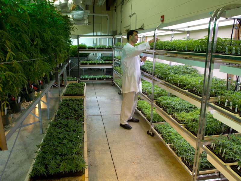 Senior research scientist Dr. Suman Chandra checks plants at the National Center for Natural Products Research at the University of Mississippi campus in Oxford.